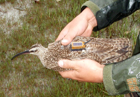 Winnie the Whimbrel