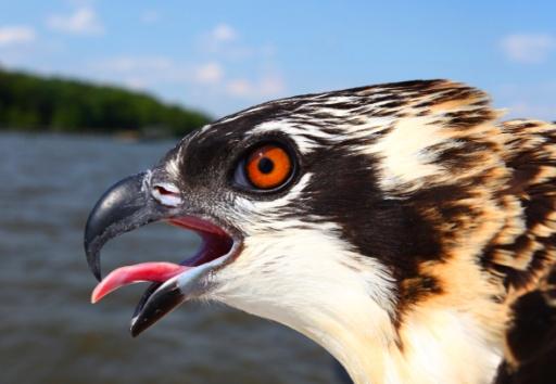 7 week old osprey chick closeup (copy)